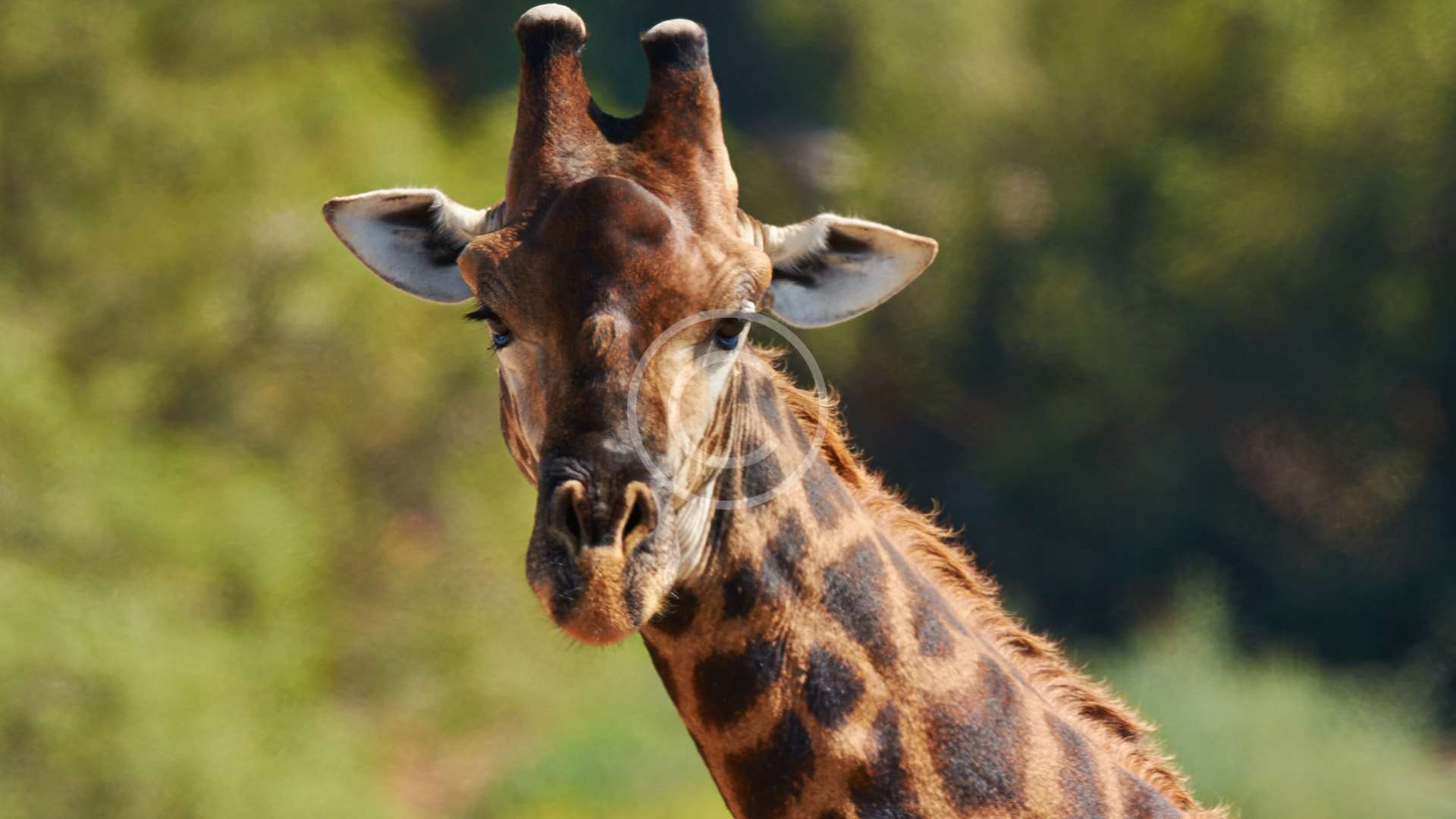 Donate to Giraffe Conservation