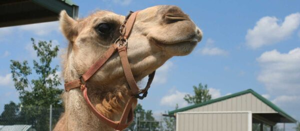 A picture of a camel's head